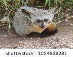 bat eared fox in serengeti... | Shutterstock . vector #1024838281