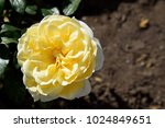 "Small photo of ""Friesia (Sun Sprite) ""; Hybrid Tea Rose, Yellow Rose Originally Produced by the Breeder Meilland in France."