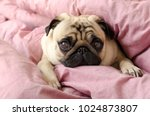 Stock photo small cute dog breed pug sleeping in master s bed 1024873807