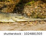 indian fresh water alligator... | Shutterstock . vector #1024881505