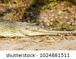 indian fresh water alligator... | Shutterstock . vector #1024881511