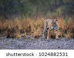 wild bengal tiger  panthera... | Shutterstock . vector #1024882531