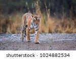bengal tiger  panthera tigris... | Shutterstock . vector #1024882534