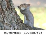 grey squirrel sitting and... | Shutterstock . vector #1024887595