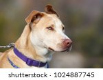 beautiful pit bull mix dog... | Shutterstock . vector #1024887745