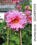 Pink Dahlia Flowers In The...