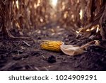 corn on the cob laying in corn...   Shutterstock . vector #1024909291