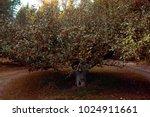 apple tree orchard harvest fall ...   Shutterstock . vector #1024911661