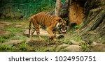 the malayan tiger  panthera... | Shutterstock . vector #1024950751