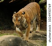 the malayan tiger  panthera... | Shutterstock . vector #1024950769