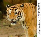 the malayan tiger  panthera... | Shutterstock . vector #1024950775