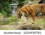 the malayan tiger  panthera... | Shutterstock . vector #1024950781