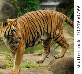 the malayan tiger  panthera... | Shutterstock . vector #1024950799