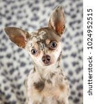 Small photo of Lilac Merle Chihuahua dog puppy on spotty background looking at camera head tilted