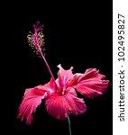 Beautiful Scarlet Red Hibiscus...