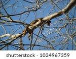 female fossa  an endemic...   Shutterstock . vector #1024967359