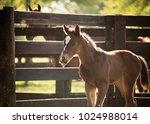 bay baby horse   Shutterstock . vector #1024988014