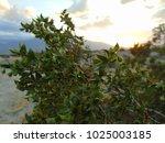Small photo of Larrea Creosote bush