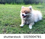 Dog Pomeranian Lying On Grass...