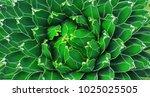 closeup view of a green agave...   Shutterstock . vector #1025025505