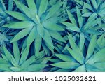 closeup view of a green agave... | Shutterstock . vector #1025032621