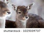 fallow deers in the snow   Shutterstock . vector #1025039737