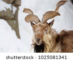 Small photo of Horned goat. Horned goat or markhor is a cloven-hoofed mammal of genus of mountain goats. Markhor is an extremely beautiful animal fell into the category of endangered species.