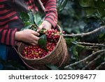 worker harvest arabica coffee... | Shutterstock . vector #1025098477