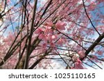 pink flora blooming in the... | Shutterstock . vector #1025110165