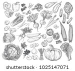 hand drawn fresh vegetables set.... | Shutterstock .eps vector #1025147071