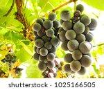 sweet dark blue grapes on a...   Shutterstock . vector #1025166505