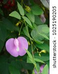 Spurred Butterfly Pea ...