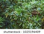 yew plum pine  podocarpus...   Shutterstock . vector #1025196409
