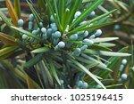 yew plum pine  podocarpus... | Shutterstock . vector #1025196415