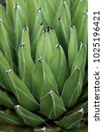 Small photo of Queen Victoria agave (Agave victoriae-reginae). Called Royal agave also