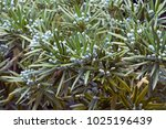 yew plum pine  podocarpus...   Shutterstock . vector #1025196439