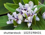 toad lily  tricyrtis hirta .... | Shutterstock . vector #1025198431