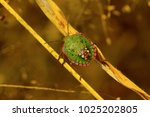 Southern Green Stink Bug Near...