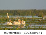 white pelican  pelecanus... | Shutterstock . vector #1025209141