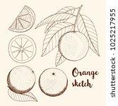 sketch of citrus fruit orange ... | Shutterstock .eps vector #1025217955