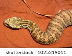 Small photo of Common death adder (Acanthophis antarcticus) is a highly venomous elapids found in Australia and New Guinea.