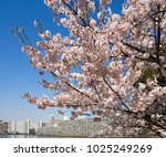 cherry blossoms in full bloom... | Shutterstock . vector #1025249269