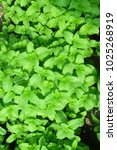 Small photo of Fresh mints leaves or peppermints, Kitchen Mint, Marsh Mint, Mentha X villosa Huds.