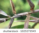 Small photo of A twig is a small thin terminal branch of a woody plant. The buds on the twig are an important diagnostic characteristic, as are the abscission scars where the leaves have fallen away. The color, text