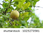 Small photo of A lime with a canker disease.