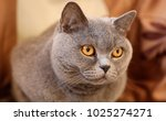 british cat looking around....   Shutterstock . vector #1025274271