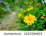mexican sunflower in mountain... | Shutterstock . vector #1025284825