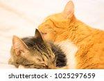 Orange Cat Licks Brown And...