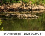 Small photo of The Nile crocodile is an African crocodile, the largest freshwater predator in Africa, and may be considered the second largest extant reptile in the world, after the saltwater crocodile.