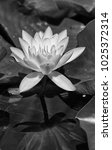 Water Lily Flower Black And...